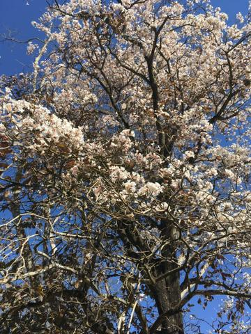 Mudas de ipê-branco (Tabebuia roseoalba) - Foto 2