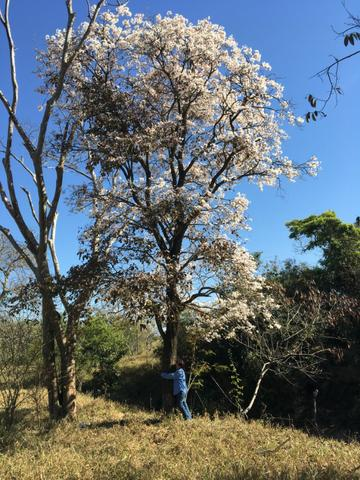 Mudas de ipê-branco (Tabebuia roseoalba)