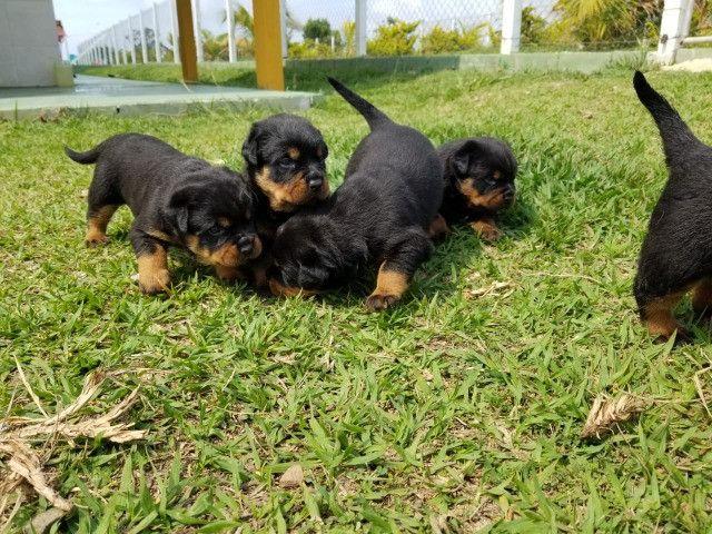Vendo Rottweiler tel * - Foto 3