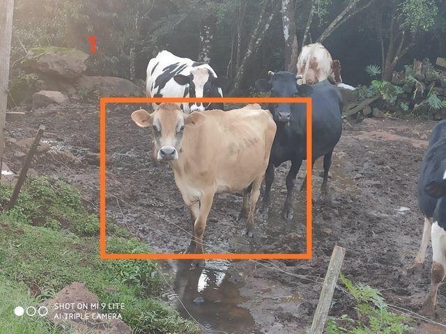 Vacas de produção leiteira - Foto 2