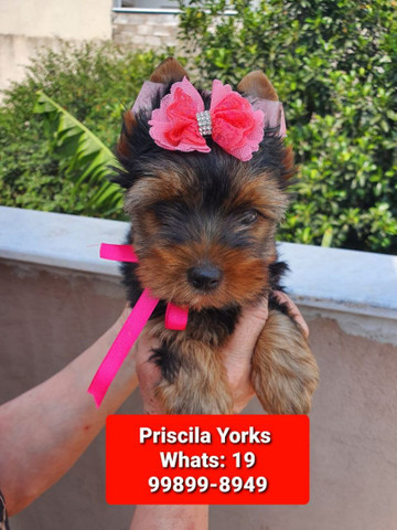 Yorkishire terrier lindíssimos - Foto 3