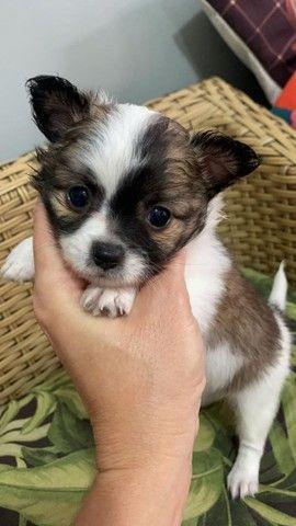 Chihuahua Pêlo longo. Belíssimo rapaz disponivel!!!