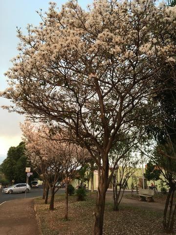 Mudas de ipê-branco (Tabebuia roseoalba) - Foto 5
