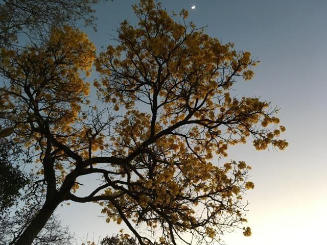 Mudas de espécies cinco espécies diferentes de ipê-amarelo - Foto 4