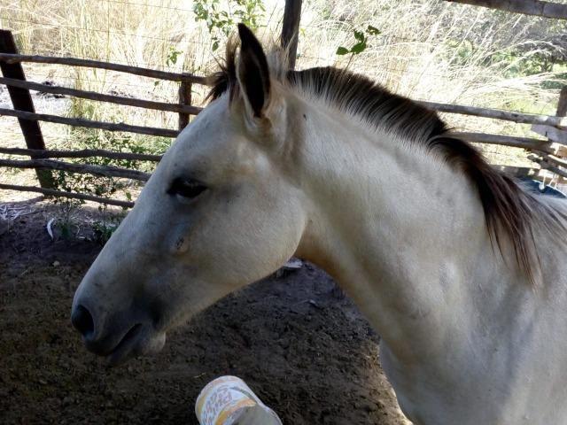 Vende-se cavalo mestiço de quarto de milha - Foto 2