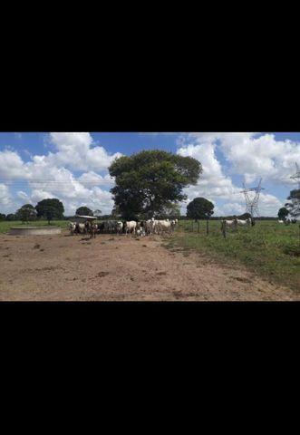 Linda Fazenda com 150 Hectares estruturada na Região de Macaiba - Foto 5
