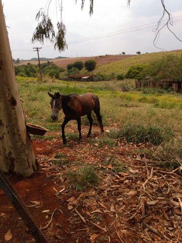 Égua marchadeira - Foto 2