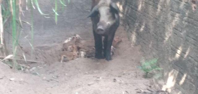 Filhote de Java porco 250  - Foto 3