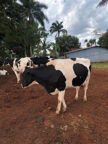 Vendo vaca leiteira lactação 15-40litros - Foto 2