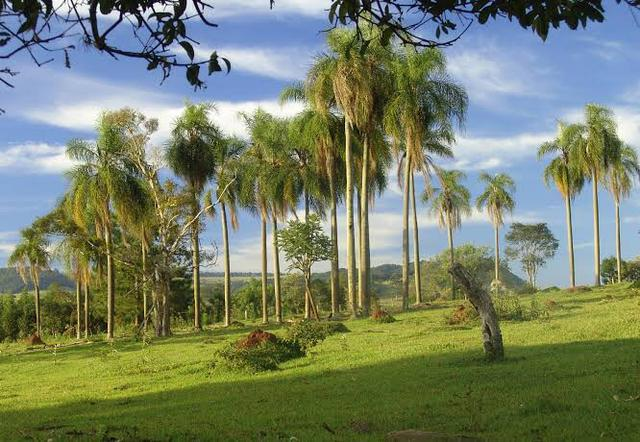 Palmeira Jerivá com 2 metros