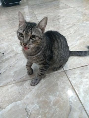 Adoção de gata adulta - Foto 3