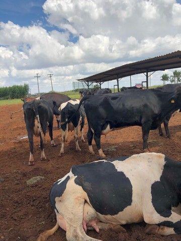 Vendo vaca leiteira lactação 15-40litros - Foto 3