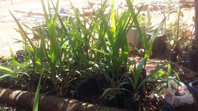 Palmeira Jerivá com 2 metros - Foto 2
