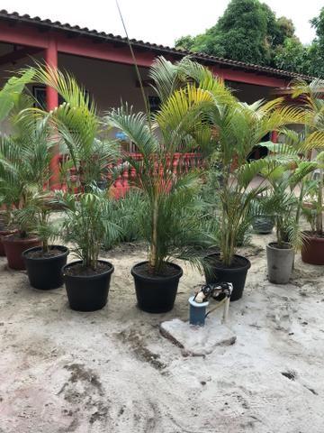 Palmeiras Areca Bambu