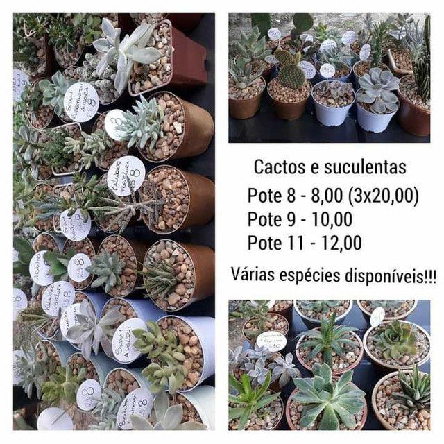 Echeveria Dionísio, suculenta rara! TEMOS GRANDES VARIEDADES DE PLANTAS - Foto 5