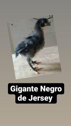 Pintos da raça Gigante Negro de Jersey - Foto 2
