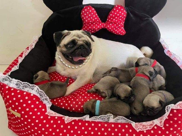 Filhote de pug com pedigree - Foto 2