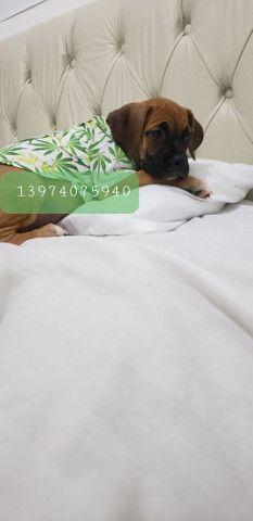 Boxer puro - FOTOS REAIS - Foto 2