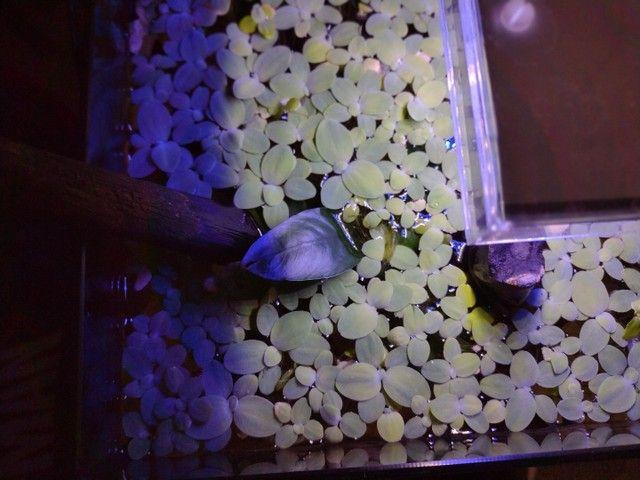 Plantas de superficie aquática - Foto 3