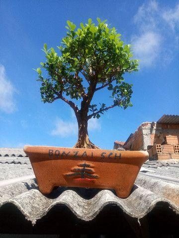 Pre bonsai de buxinho - Foto 2