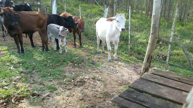 Lote de gado, preço a combinar