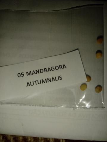 Mandragora sementes