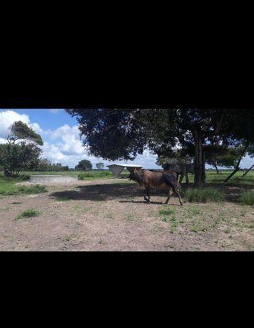 Linda Fazenda com 150 Hectares estruturada na Região de Macaiba - Foto 15