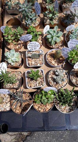 Echeveria Dionísio, suculenta rara! TEMOS GRANDES VARIEDADES DE PLANTAS - Foto 6