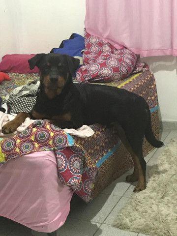 Rottweiler procurando fêmea para cruzar  - Foto 2