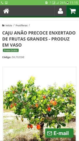 Muda enxertadas de frutíferas preço de atacado a partir de 10$ - Foto 3