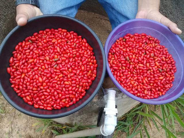Vende-se pimenta cumarizão - Foto 2