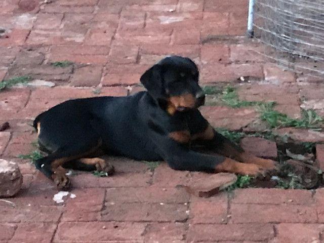 Rottweiler Fêmea: 5 meses (em 5/10/20) - Foto 2