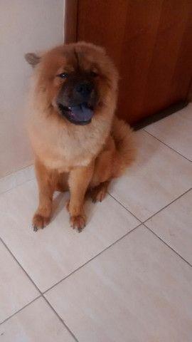 Cadela chow-chow de 1 ano e 7 meses - Foto 4