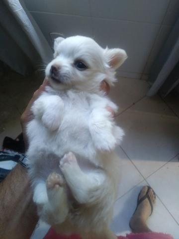 Chihuahua filhotes - Foto 2