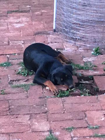 Rottweiler Fêmea: 5 meses (em 5/10/20) - Foto 3