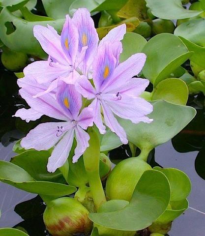 Aguapé Planta de superfície, muda para lagos, filtros e decorativos
