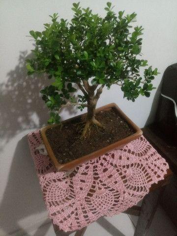 Pre bonsai de buxinho - Foto 3