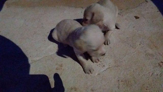 Vendo dois cachorros  - Foto 4