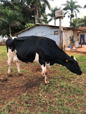 Vendo vaca de leite girolanda  - Foto 4