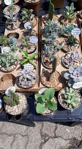 Echeveria Dionísio, suculenta rara! TEMOS GRANDES VARIEDADES DE PLANTAS - Foto 4