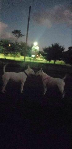 ? Lindos filhotes de Bull terrier  - Foto 6