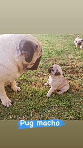 Vendo Cães olhe e leia o anúncio - Foto 3