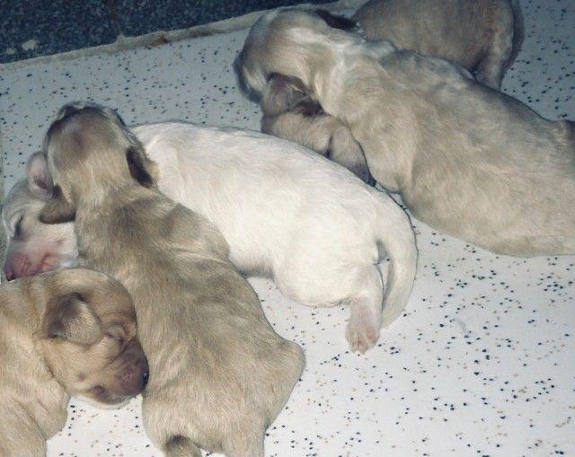 Filhotes de poodle puros - Foto 3