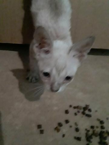Doa-se gatinho branco - Foto 2