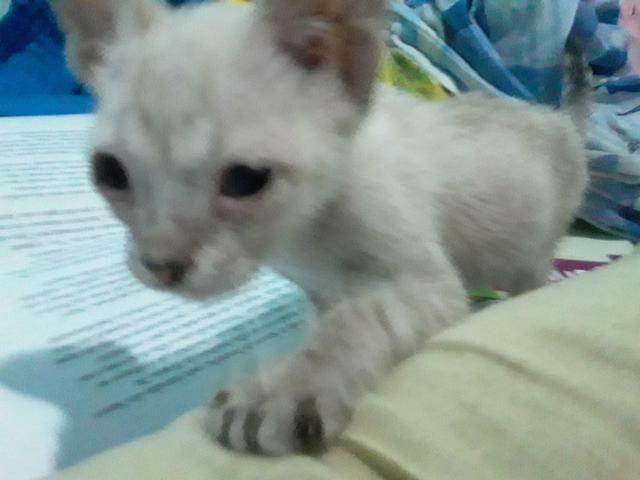 Doa-se gatinho branco