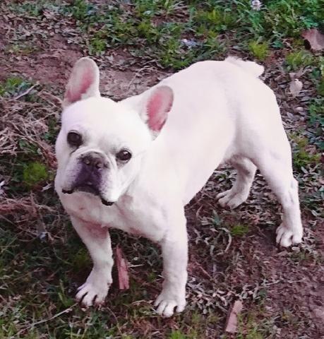 Bulldog francês com pedigree Albino para cruza