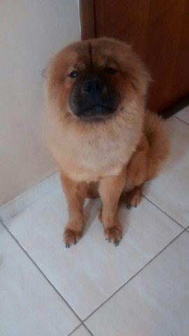 Cadela chow-chow de 1 ano e 7 meses - Foto 2
