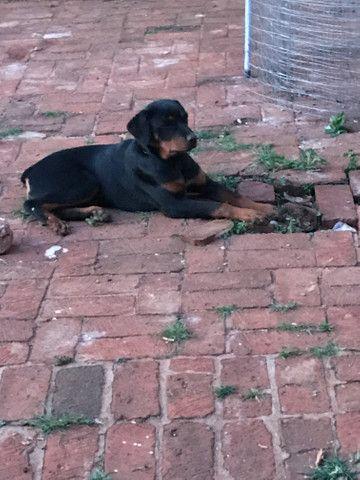 Rottweiler Fêmea: 5 meses (em 5/10/20) - Foto 4