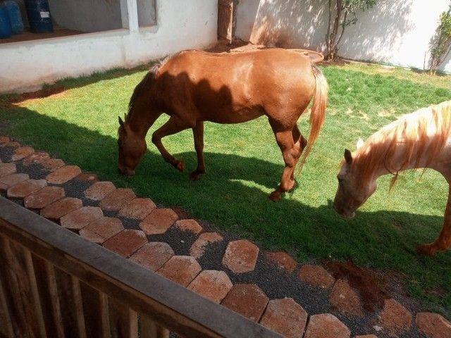 Vendo  égua mangalarga paulista égua de patrão!!! - Foto 3