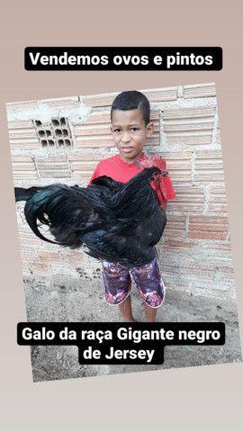 Pintos da raça Gigante Negro de Jersey - Foto 4
